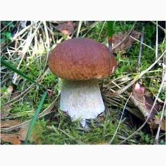 Продам белый гриб, боровик свежий, сушенный, мороженый