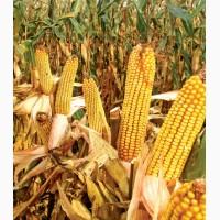 Гібрид кукурдзи МТ261(Dow Seeds)