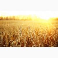 Скупка пшеницы у производителя, дорого