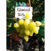 Виноград саженец Бажена