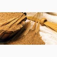 Агрокомпания на постоянной основе закупает зерно пшеницы, а так же ячмень