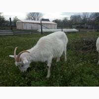 Продаю Зааненских коз