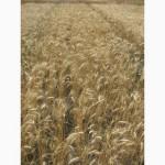 Семена пшеницы озимой - сорт Солоха. 1 репродукция