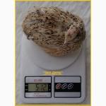 Инкубационные яйца перепела Феникс Золотистый - (франция) и молодняк