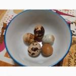 Инкубационные яйца перепела Техасский бройлерный