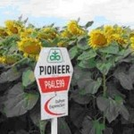 Семена подсолнечника П64ЛЕ99, (Экспресс Сан) Pioneer