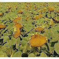 Насіння соняшнику Осман (під євро-лайтнінг)