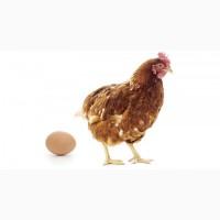 Инкубационные яйца кур Ломан (Уайт, Браун)