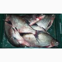 Продам свежий лещ, и другую речную рыбу