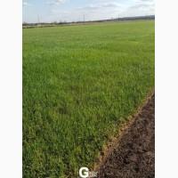 Рулонный газон, укладка с гарантией Green Garth (Грин Гарт)