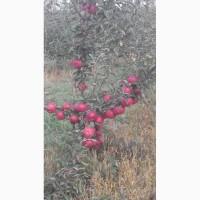 ПРОДАМ ЯБЛОКИ собственного производства урожай 2018 года