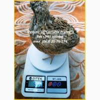 Яйца инкубационные перепела для маточного стада