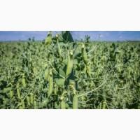 Продам насіння двуручки гороху сорт Баллтрап (Франція)