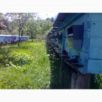 Продам Бджолопакети карпатської породи 2019