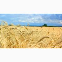 Семена пшеницы озимой Зира Элита, урожайность 80-100 ц/га