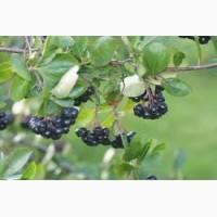Продам черноплодную рябину (аронию)