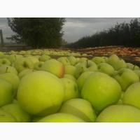 Продам яблука сорту Голден