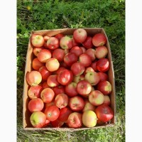 Продам оптом яблука Гала Маст