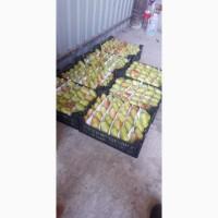 Продаем грушу Дюшес Санта Мария