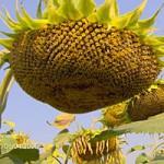 Пропонуємо посівний матеріал гібрида соняшника Рембо