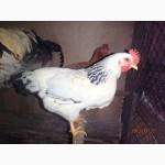 Суточные и подрощенные цыплята кур Адлер серебристый