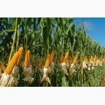 ОРЖИЦА237 МВ гибрид кукурузы с высокой предуборочной влагоотдачей