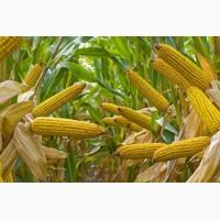 Компания на постоянной основе закупает Кукурузу от производителя, на условиях поставки CPT