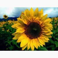 Пропонуємо гібрид соняшнику Сонячний настрій