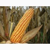 Семена кукурузы Ален ФАО 250 (Франция)