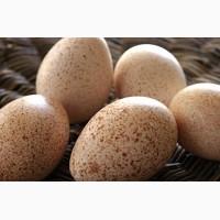 Индюшиное инкубационное яйцо