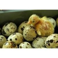 Продам перепелинное инкубационное яйцо Техасец