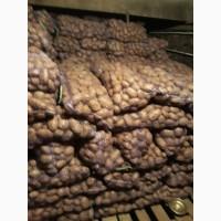 Продам картошку оптом. Урожай 2017 5-8 см по 2.50 грн/кг