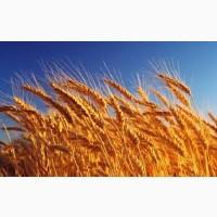 Семена пшеницы твердой ЧАДО элита 1 репрод