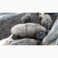 Продам свиней живой вес, жива вага