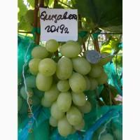 Виноград саженец Елизавета