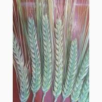Семена пивоваренного ячменя Одиссей - 1реп. (Лимогрейн)