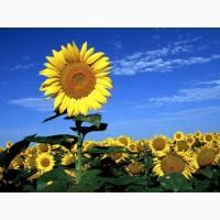 Насіння соняшника НЕЙМАР (A-G+) НОВИЙ толерантний до гранстару