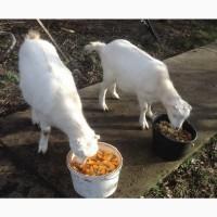 Продам белых козлят разного возраста этого года - порода ламанча. Козлики и козочки
