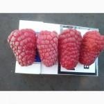 Продам саженцы малины