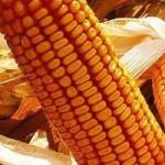 Солонянский 298 СВ гибрид кукурузы со стабильно высокой урожайностью
