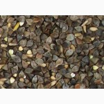 Куплю зерно Гречихи