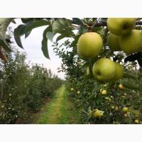 Яблука Голден Делішес