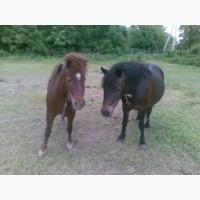 Продается две пони