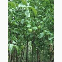 Саджанці яблунь сорту Лігол