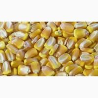 Семена кукурузы Элисон ФАО 290 (Франция)