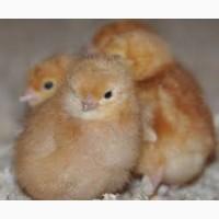 Купити курчат Ломан Вайт і Ломан Вайт