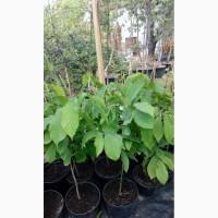 Саженцы азимина, банановое дерево. Продам