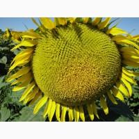 КАРДИНАЛ – насіння соняшнику (економ)