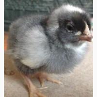 Яичный кросс Доминант с Чехии. Инкубационное яйцо