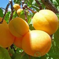 Продам саженці абрикоса